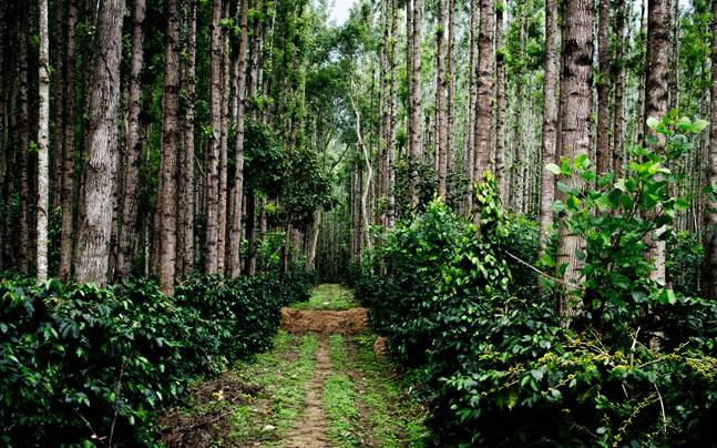 фото как растет кофе в Индии