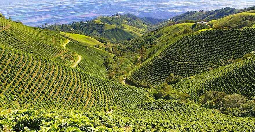 фото плантации кофе в Колумбии