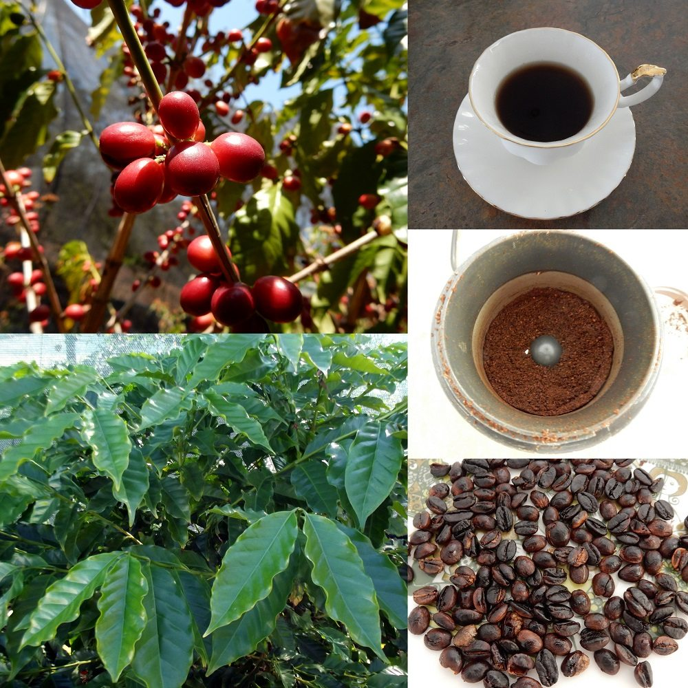 фото кофейного дерева и зерен арабики