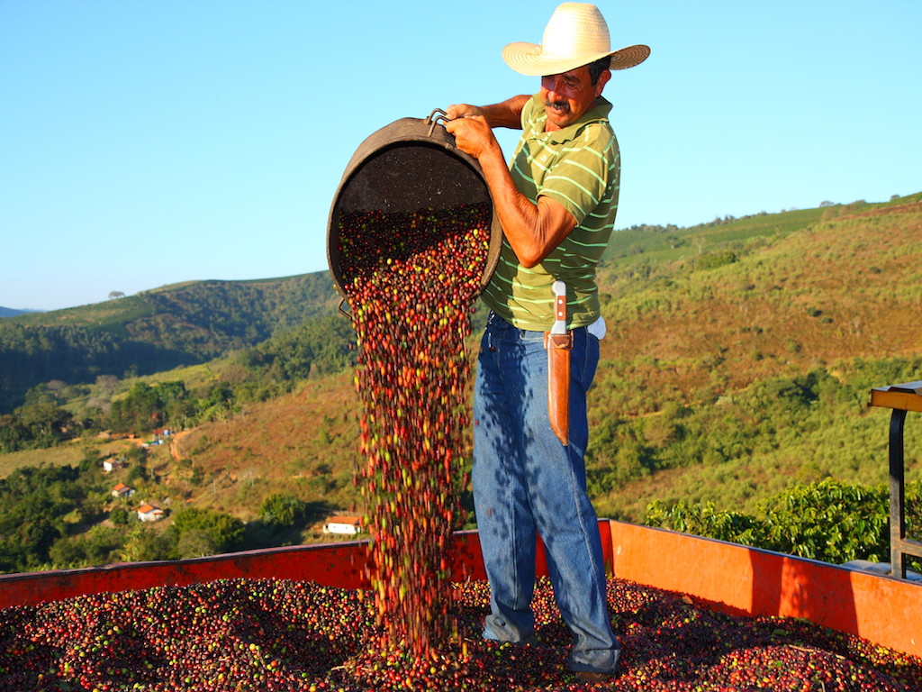 фото сушки зерен бразильского кофе
