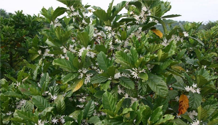 фото цветения кофейного дерева либерики
