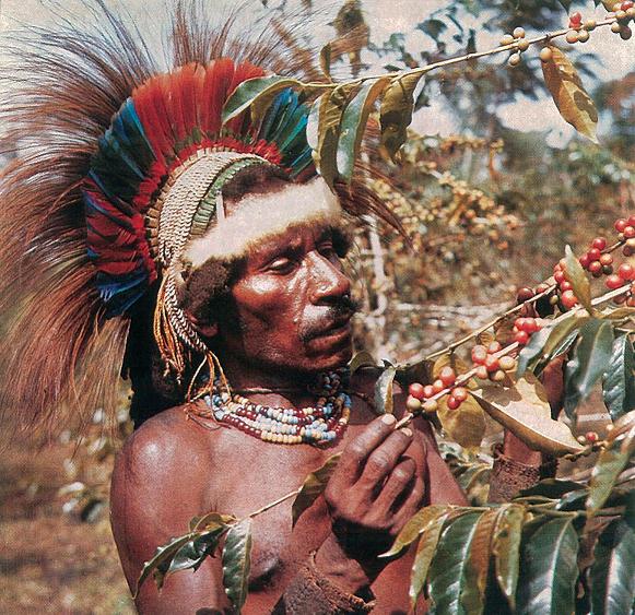 фото как папуас собирает зерна кофе
