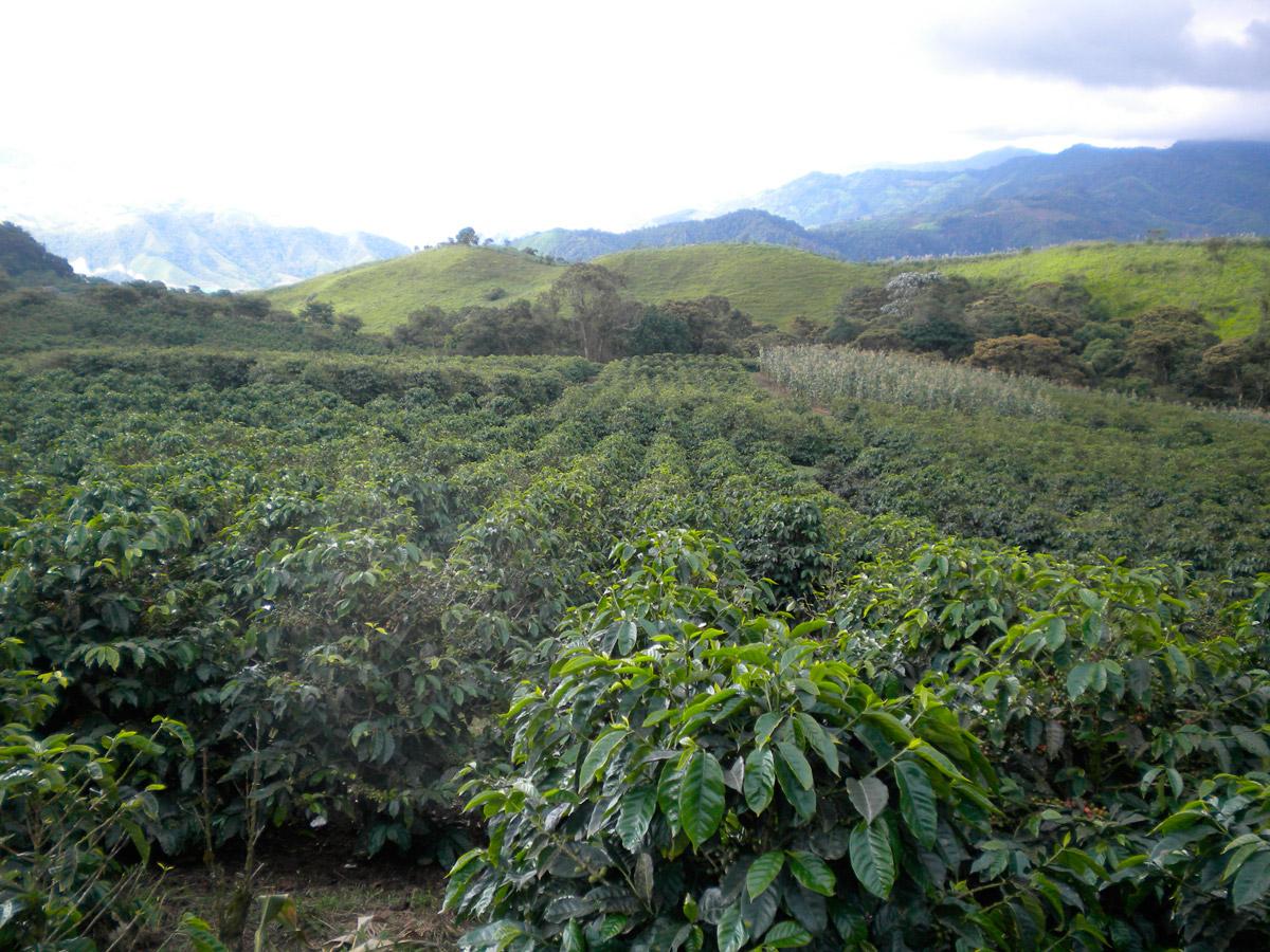 фото платнации кофе в Эквадоре