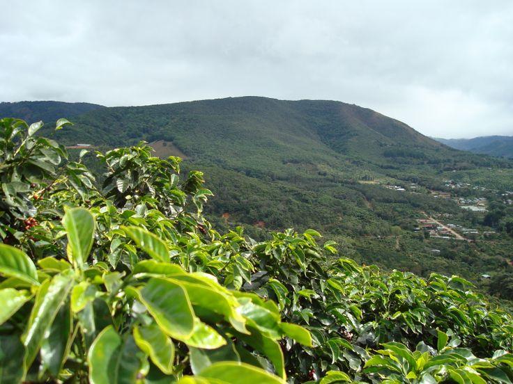 фото плантации кофе в Гондурасе