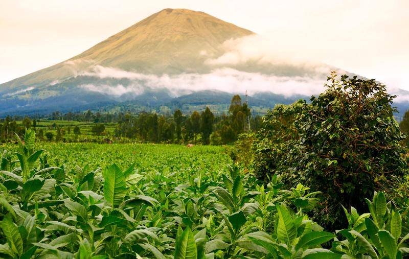фото плантации кофе в Индонезии