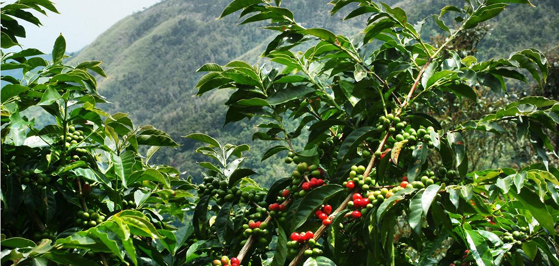 фото плантации кофе в Уганде
