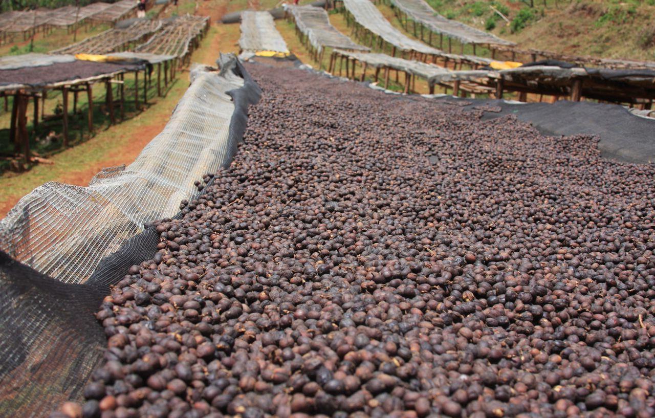 фото сухой обработки кофе