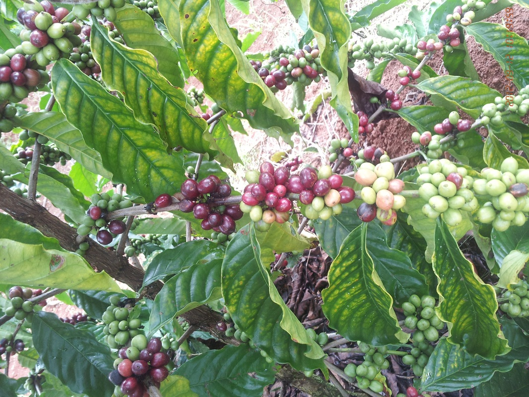 фото ягод кофе эксцельза