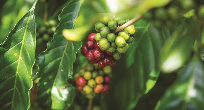 фото ягод кофе либерика