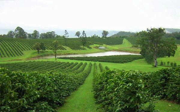 фото плантации кофе в Австралии