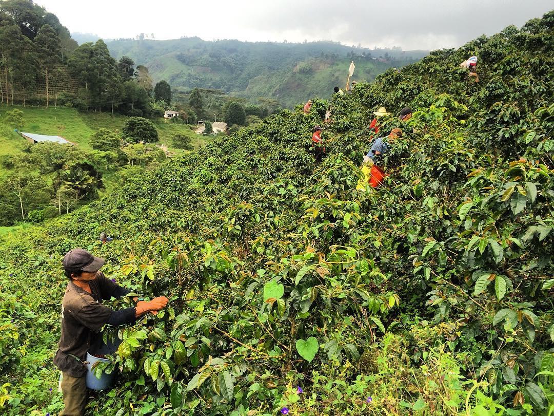 фото плантации кофе на Филиппинах