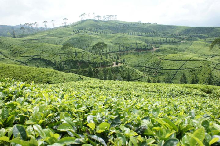 фото плантации кофе в Никарагуа