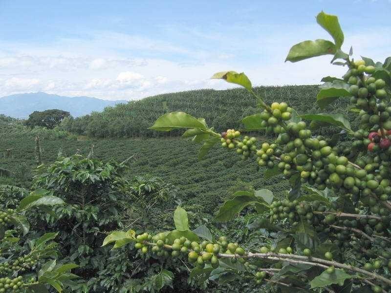 фото плантации кофе в Перу