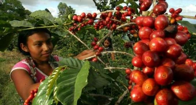 фото плантации кофе в Венесуэле