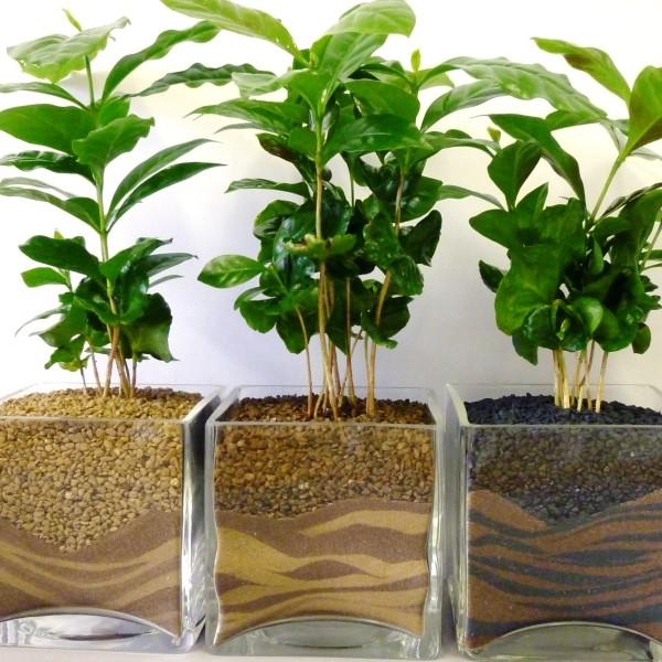 какой грунт нужен для кофейного дерева