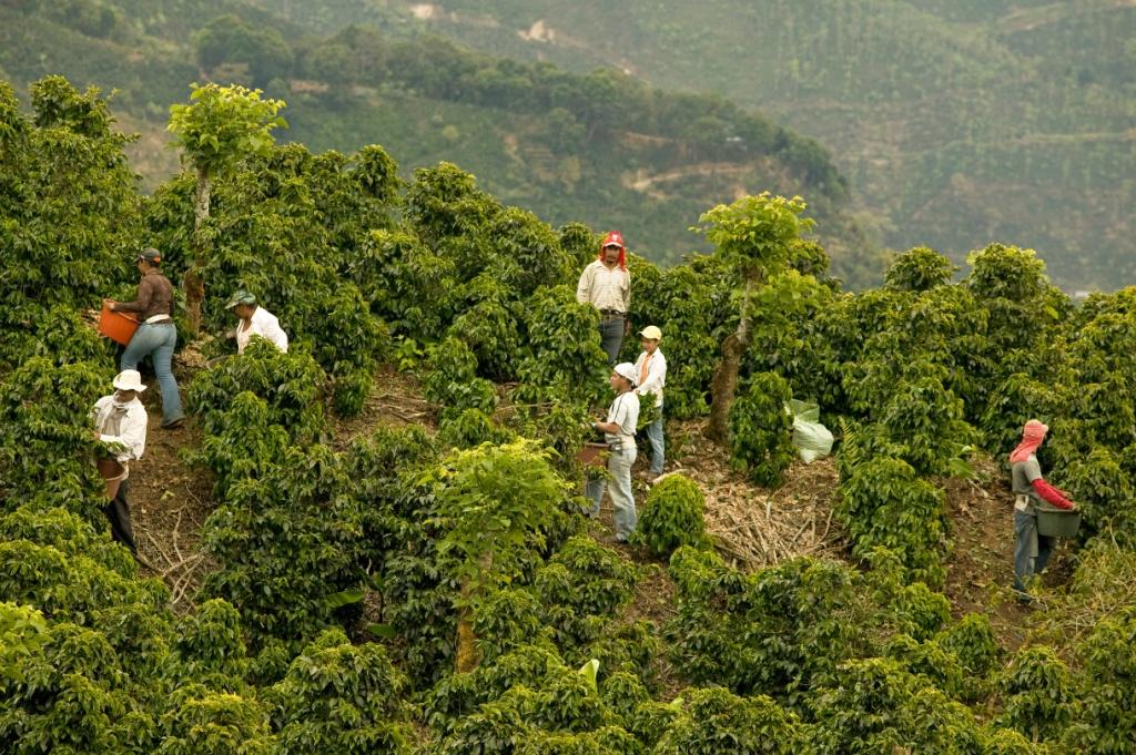 фото плантации кофе в Коста-Рике