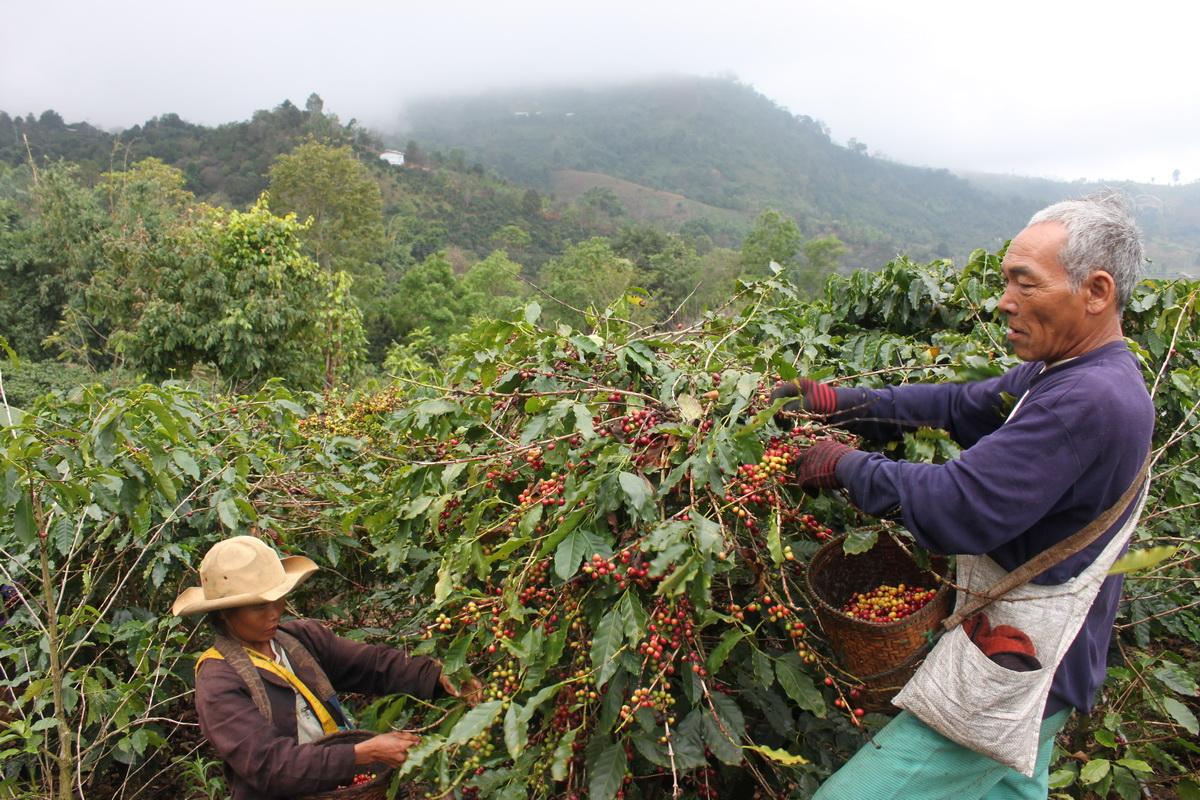 фото плантации кофе в Таиланде