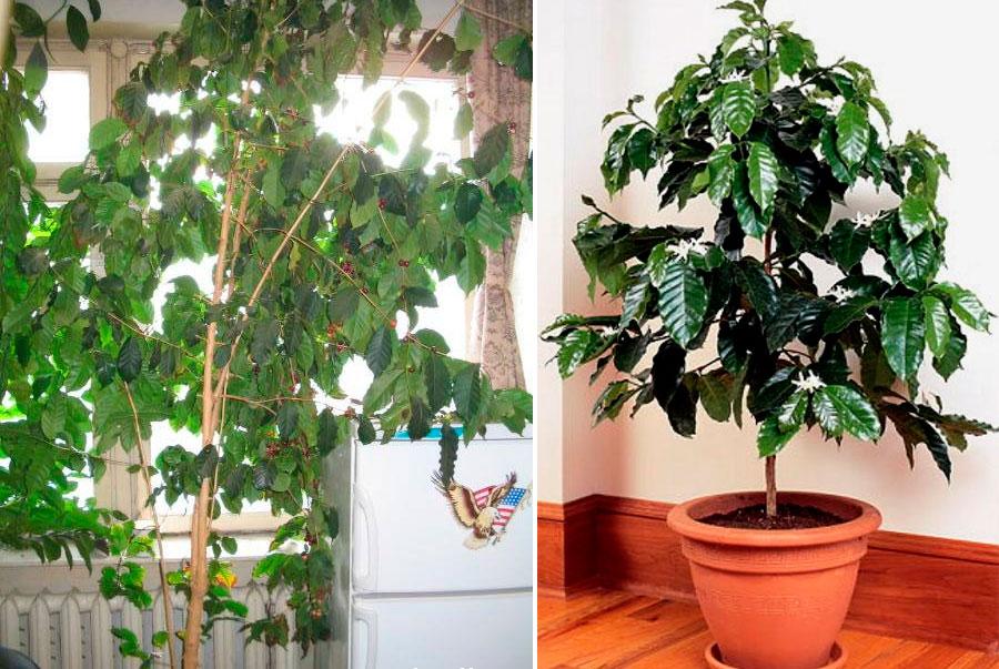 правила ухода за кофейным деревом в домашних условиях