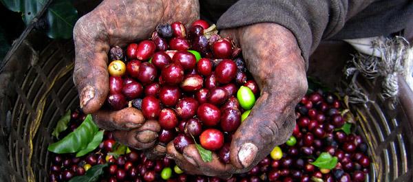 фото кофейных ягод из Танзании