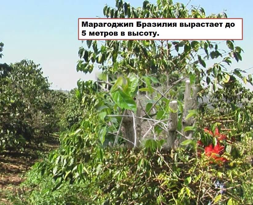 фото кофейного дерева марагонджип