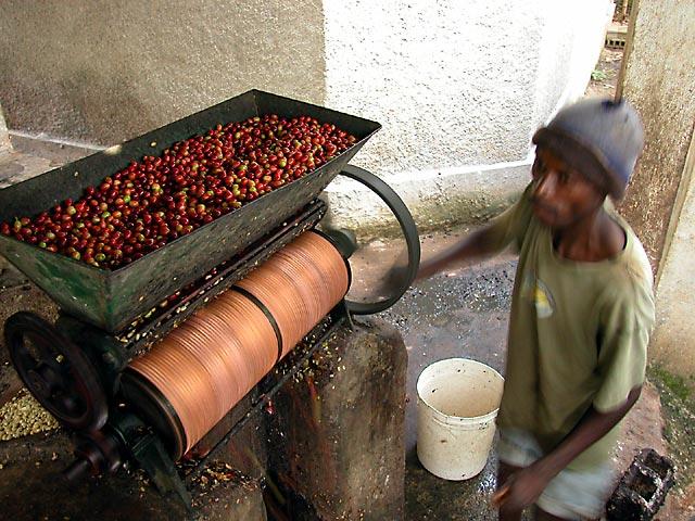 фото как обрабатывают гаитянский кофе