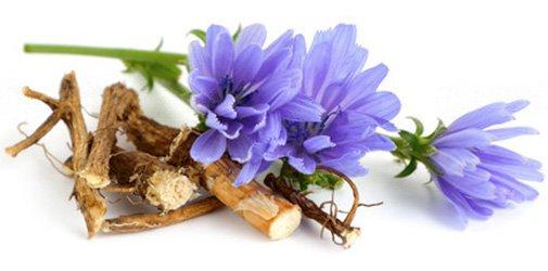 фото корней и цветков цикория