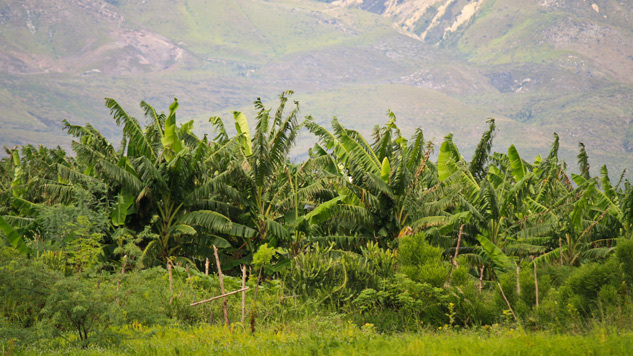 фото плантации кофе на Гаити