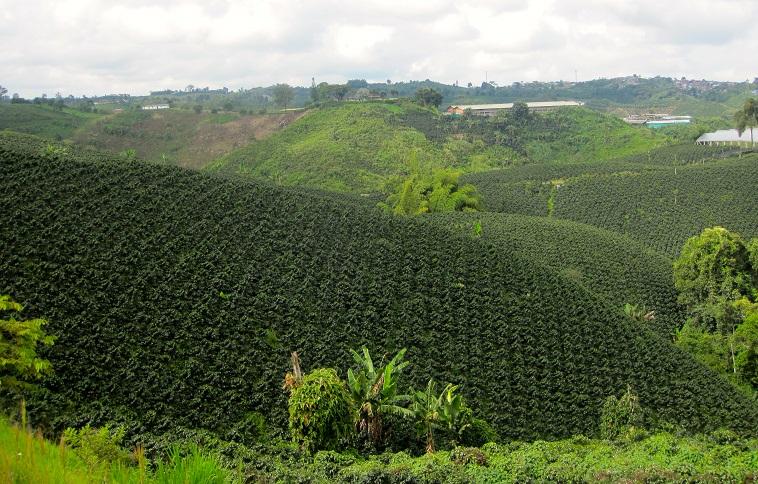 фото плантации кофе на Кубе
