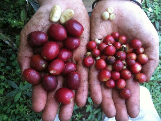 фото кофейных ягод сорта марагоджип