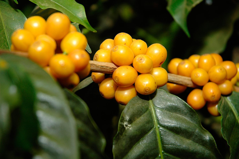 фото ягод кофе желтый бурбон