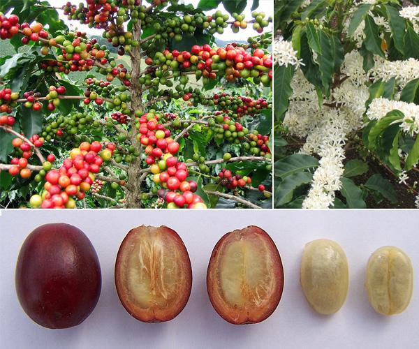 фото как растет кофе от цветания до зрелых ягод