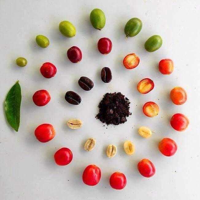 фото как развивается кофейное зерно