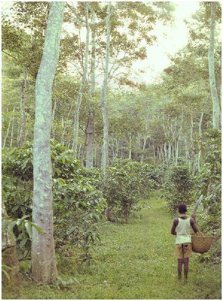 фото плантации кофе в Анголе