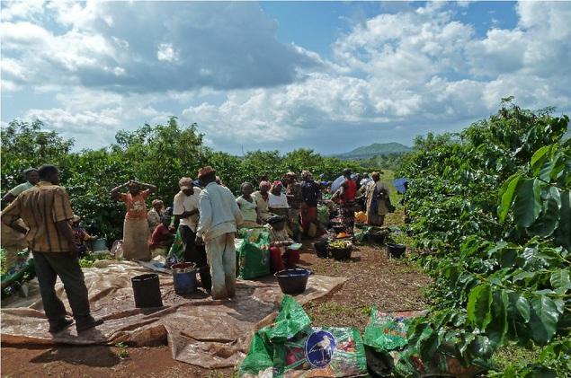 фото плантации кофе в Камеруне