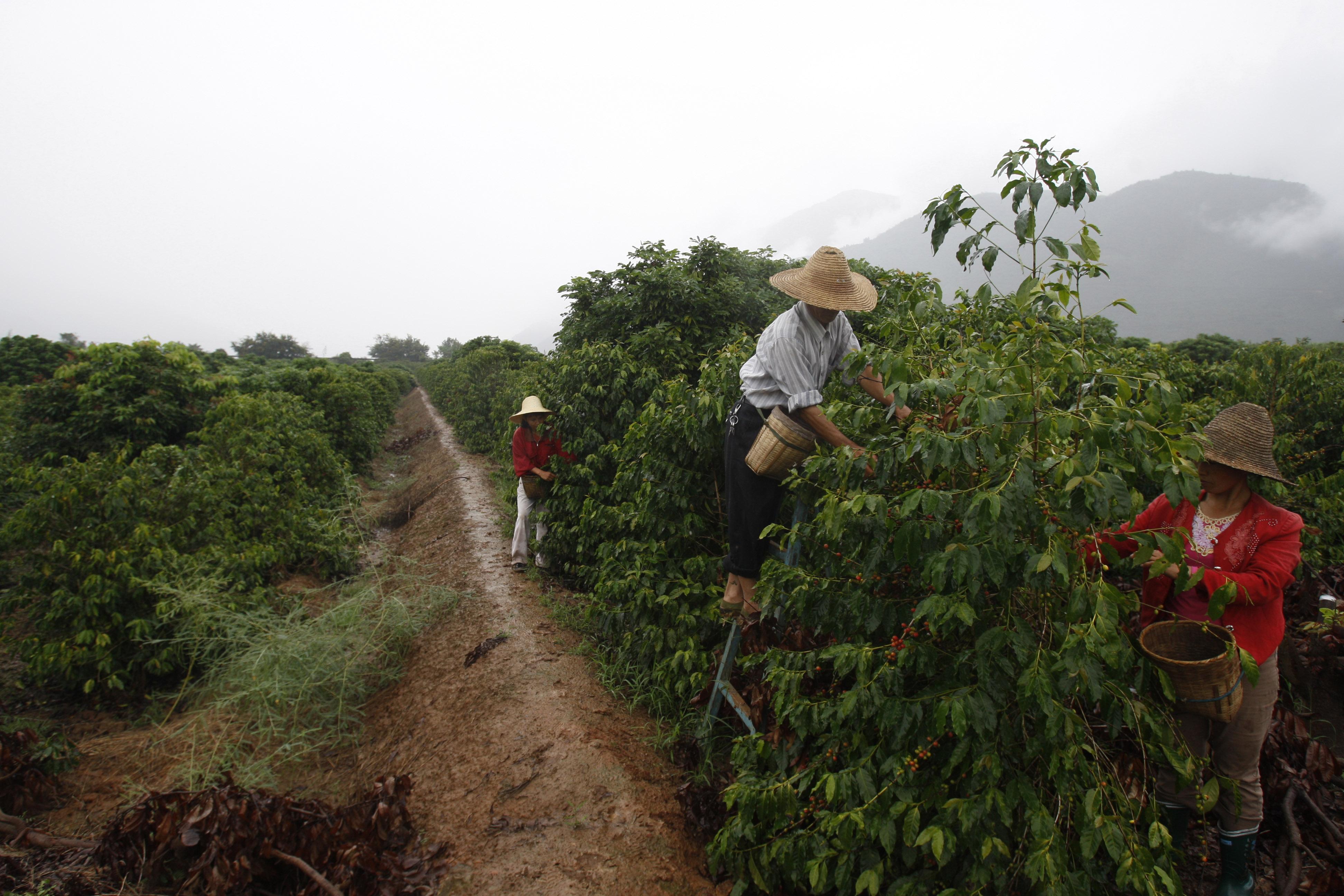 фото плантации кофе в Китае
