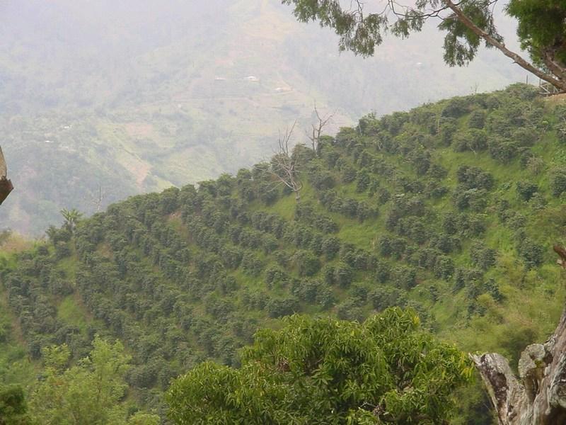 фото плантации кофе арабика Блю Маунтин
