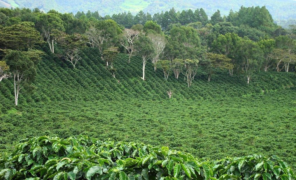 фото плантации кофе в Панаме