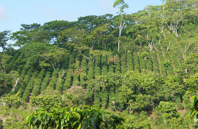фото плантации кофе в Сальвадоре