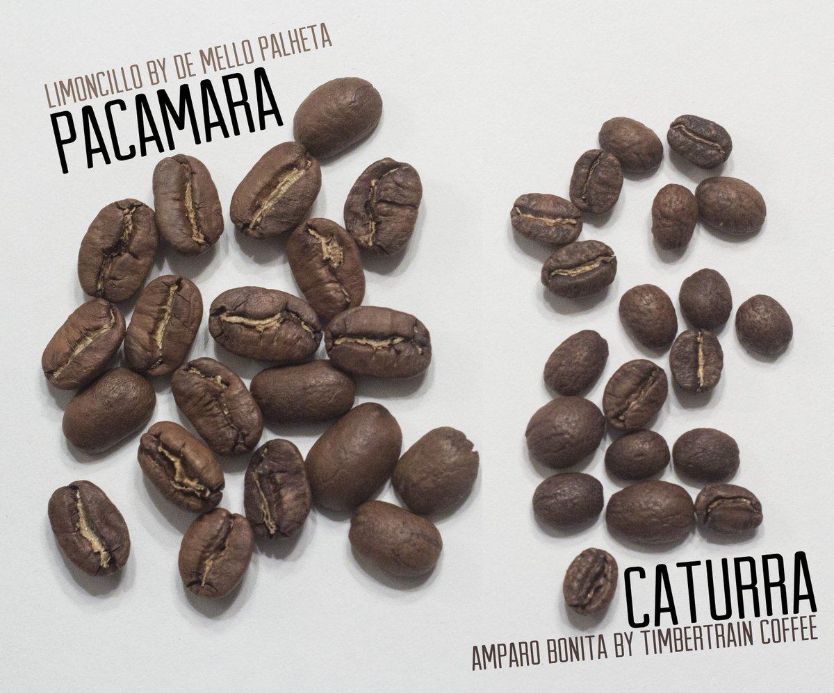 фото сортов кофе Пакамара и Катурра из Сальвадора