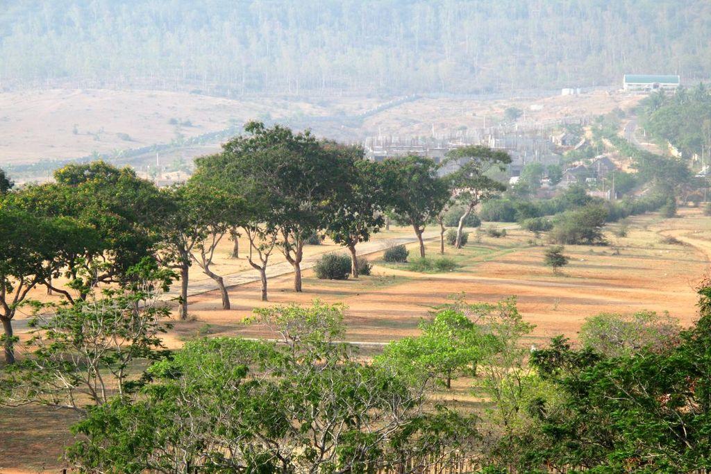 фото плантации арабики сорта Кент