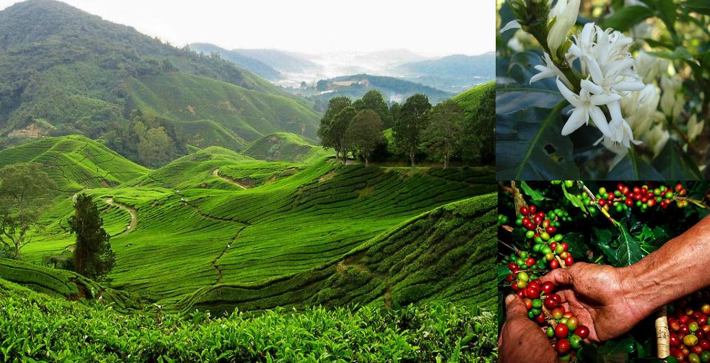 фото плантации кофе к Камбодже