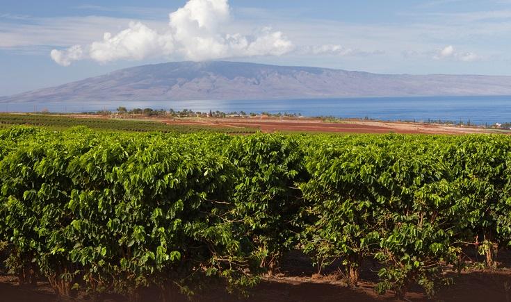 фото плантации арабики кона на Гавайях