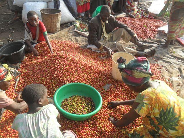 фото как выращивают кофе в Конго