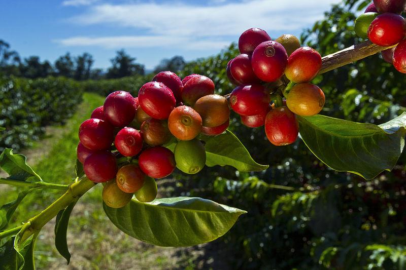 фото кофейных ягод сорта мундо ново