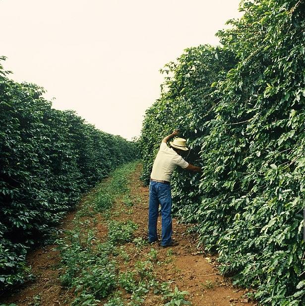 фото плантации кофе мундо ново