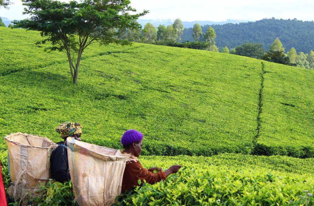фото плантации кофе в Малави