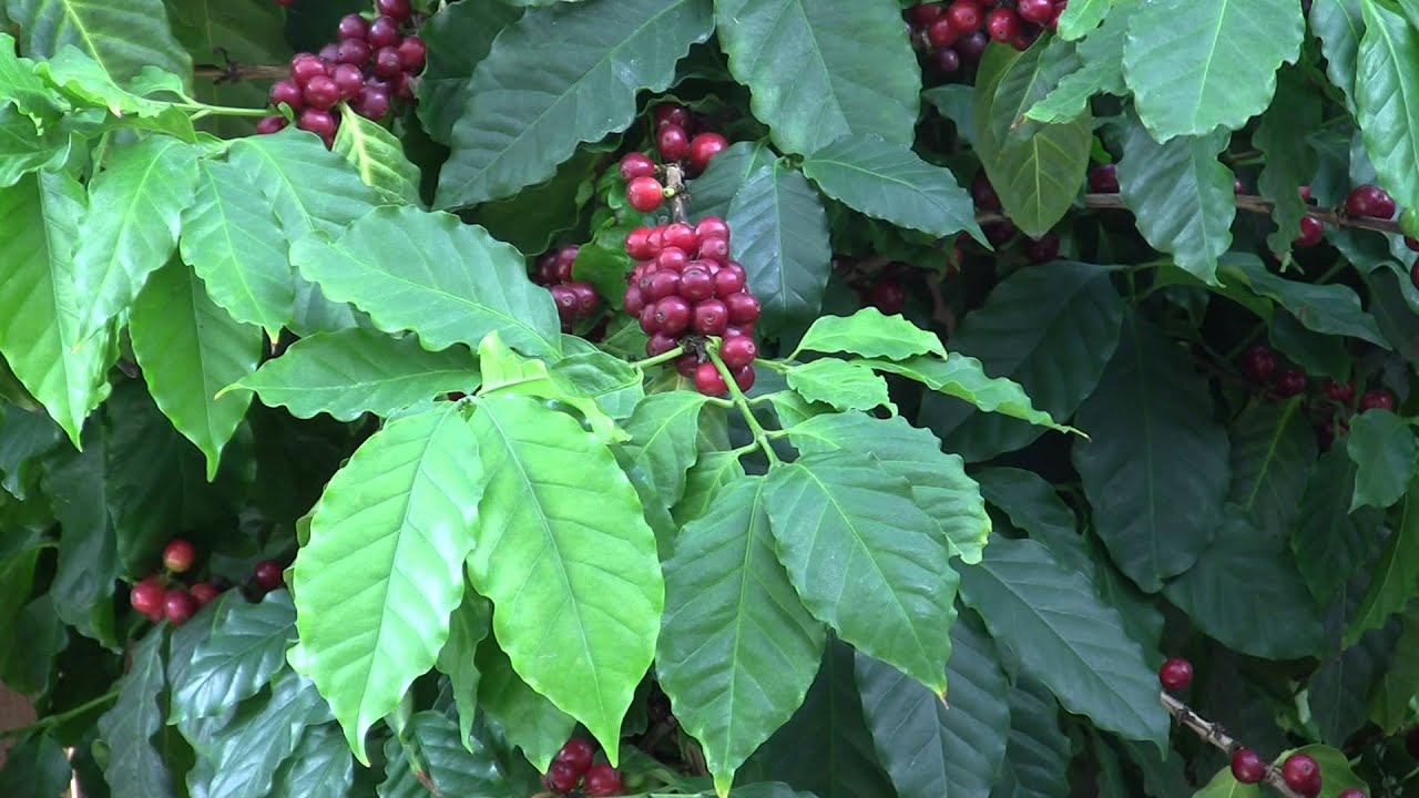 фото кофе арабика пакас