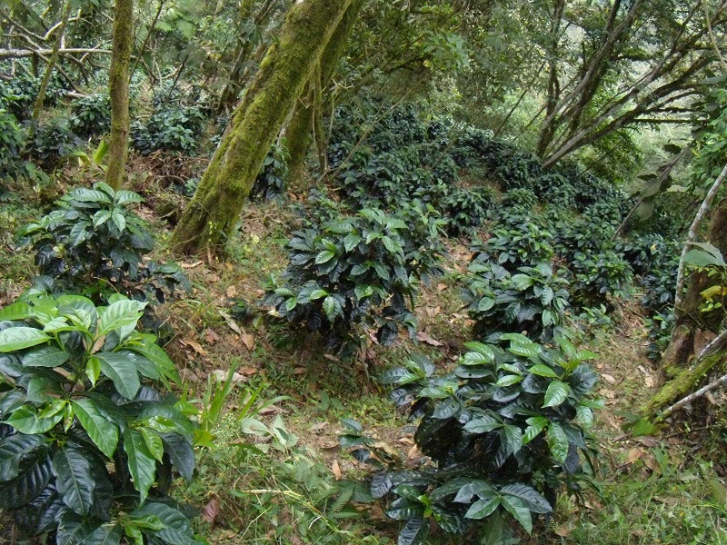фото кофейного дерева Катурра