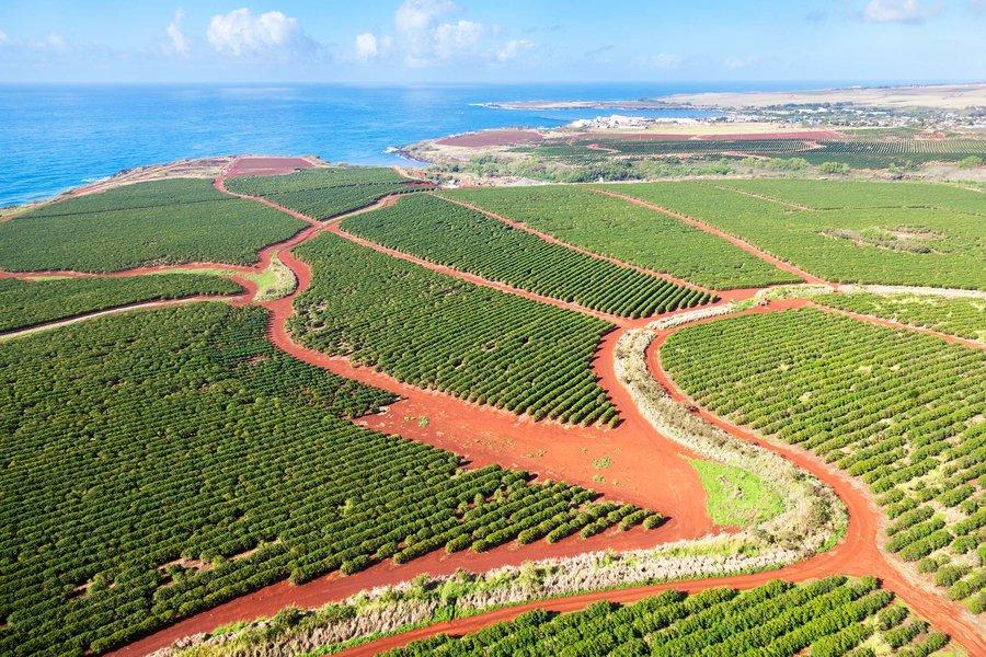 фото плантации кофе на Гаваях