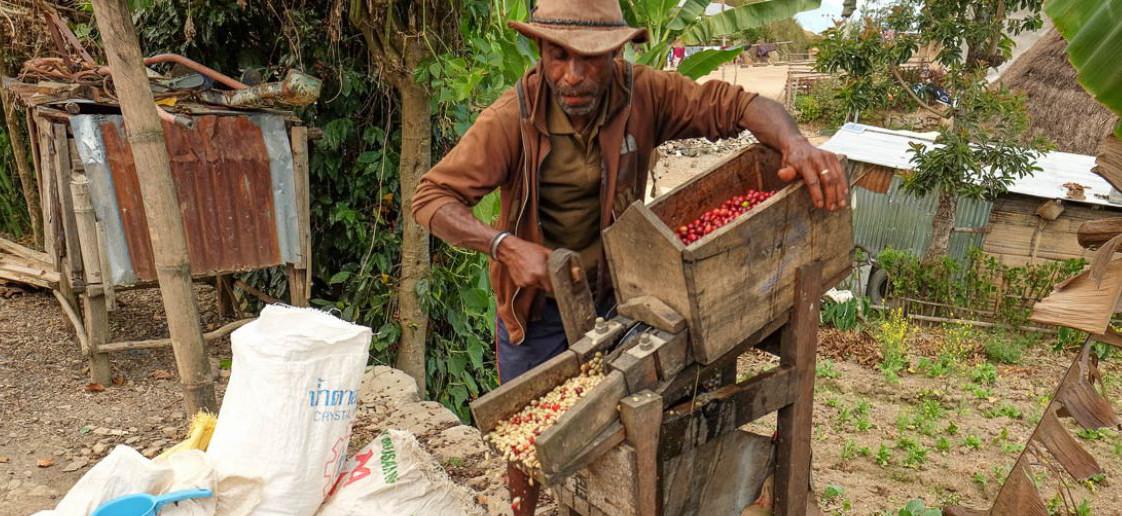 фото обработки кофе сорта Тимор
